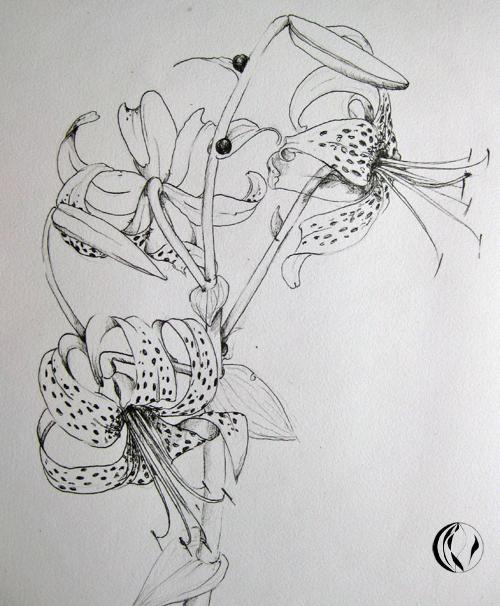 Tigerlilien – Aquarell – Zeichnung
