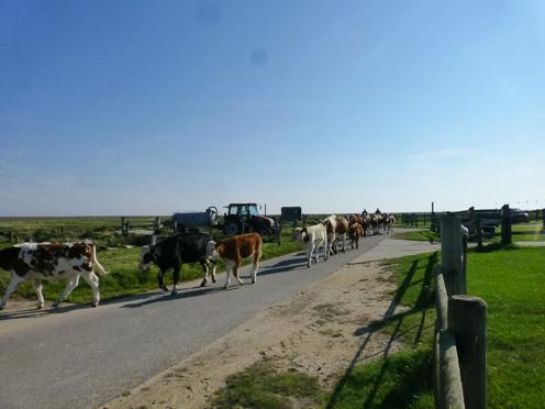 Kuhabtrieb in Nordfriesland.
